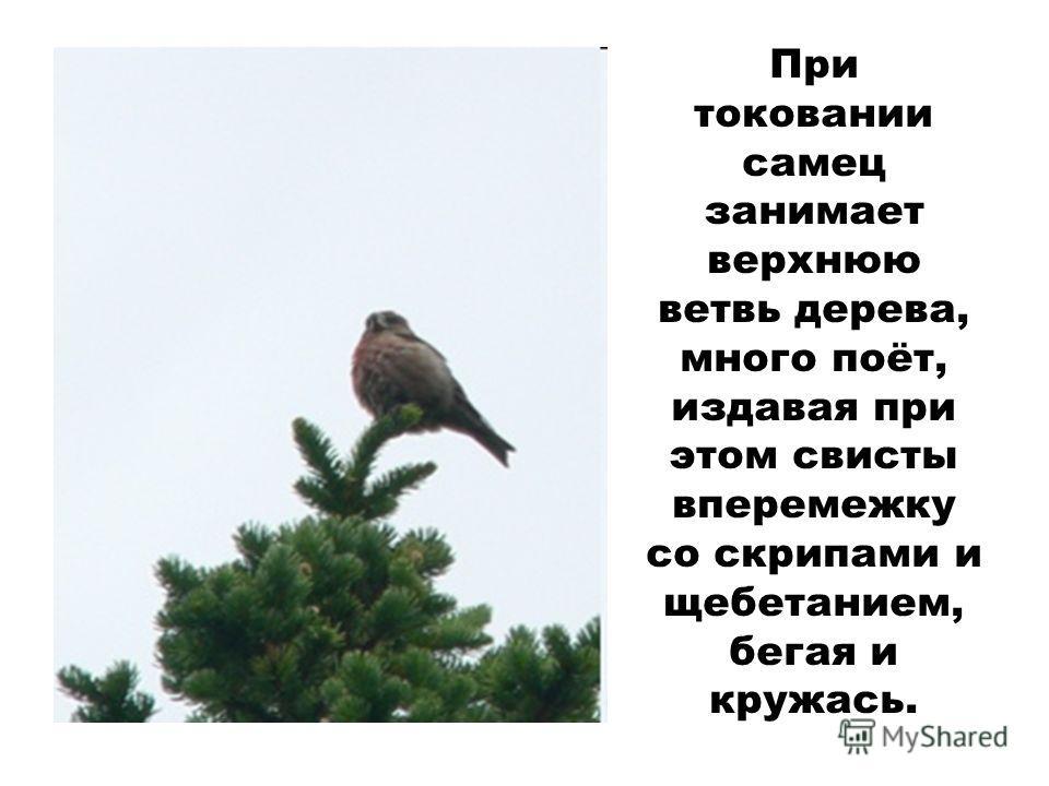 При токовании самец занимает верхнюю ветвь дерева, много поёт, издавая при этом свисты вперемежку со скрипами и щебетанием, бегая и кружась.