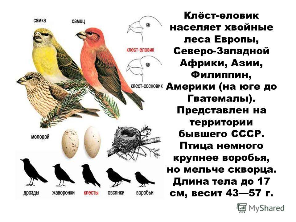 Клёст-еловик населяет хвойные леса Европы, Северо-Западной Африки, Азии, Филиппин, Америки (на юге до Гватемалы). Представлен на территории бывшего СССР. Птица немного крупнее воробья, но мельче скворца. Длина тела до 17 см, весит 4357 г.