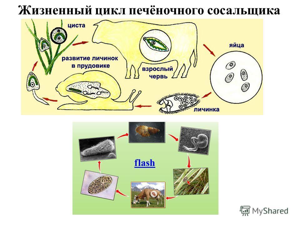 Жизненный цикл печёночного сосальщика flash