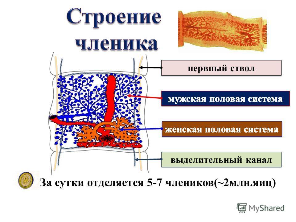 нервный ствол выделительный канал За сутки отделяется 5-7 члеников(~2млн.яиц)