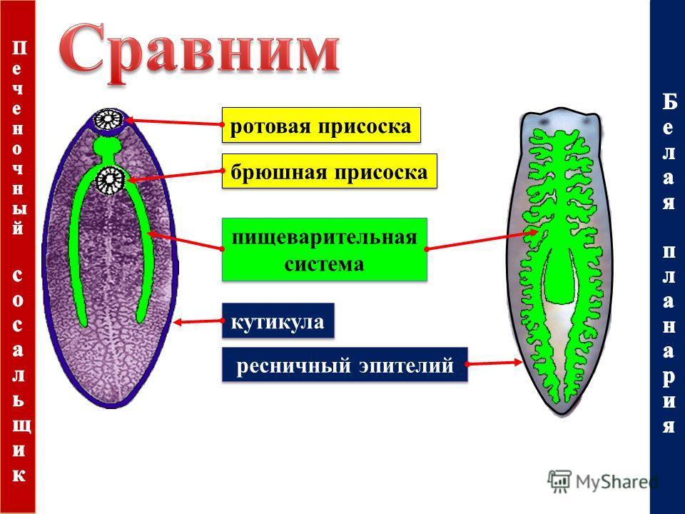 кутикула ресничный эпителий ротовая присоска брюшная присоска пищеварительная система