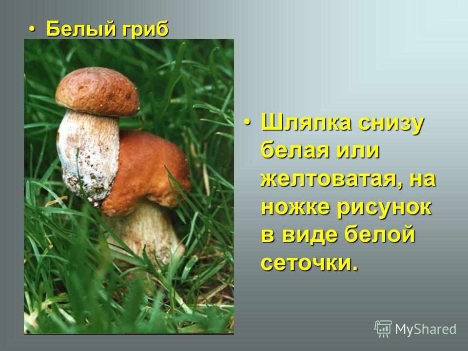 Белый грибБелый гриб Шляпка снизу белая или желтоватая, на ножке рисунок в виде белой сеточки.Шляпка снизу белая или желтоватая, на ножке рисунок в виде белой сеточки.