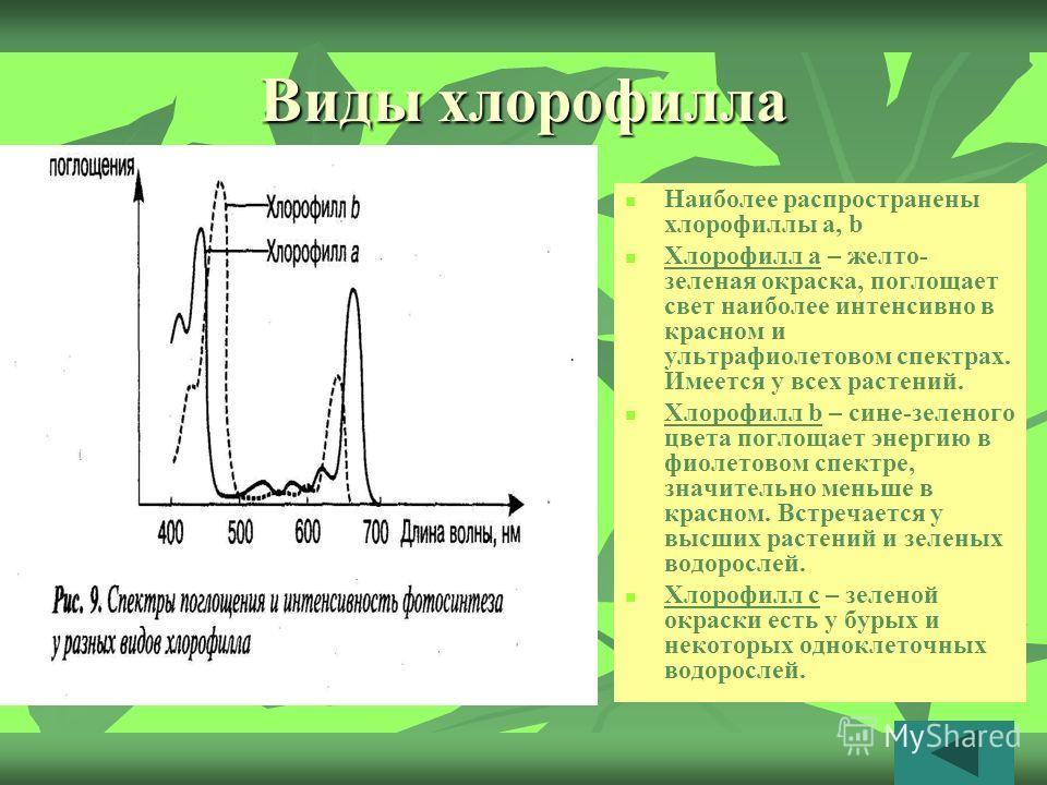 Виды хлорофилла Наиболее распространены хлорофиллы а, b Хлорофилл а – желто- зеленая окраска, поглощает свет наиболее интенсивно в красном и ультрафиолетовом спектрах. Имеется у всех растений. Хлорофилл b – сине-зеленого цвета поглощает энергию в фио