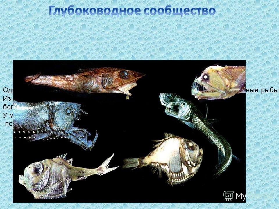 Одними из самых удивительных морских обитателей являются глубоководные рыбы. Из-за высокого давления, царящего на большой глубине, они приобретают самую невероятную форму тела. У многих обитателей глубин развиваются различные светящиеся органы, помог
