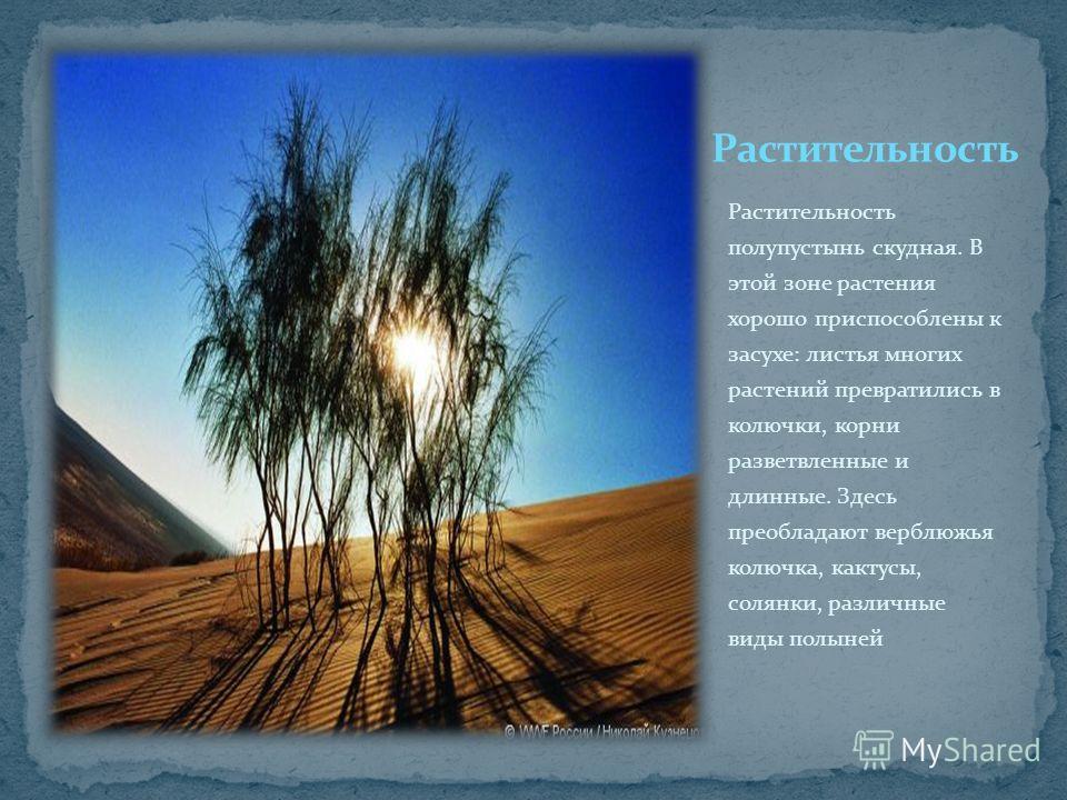 Растительность полупустынь скудная. В этой зоне растения хорошо приспособлены к засухе: листья многих растений превратились в колючки, корни разветвленные и длинные. Здесь преобладают верблюжья колючка, кактусы, солянки, различные виды полыней