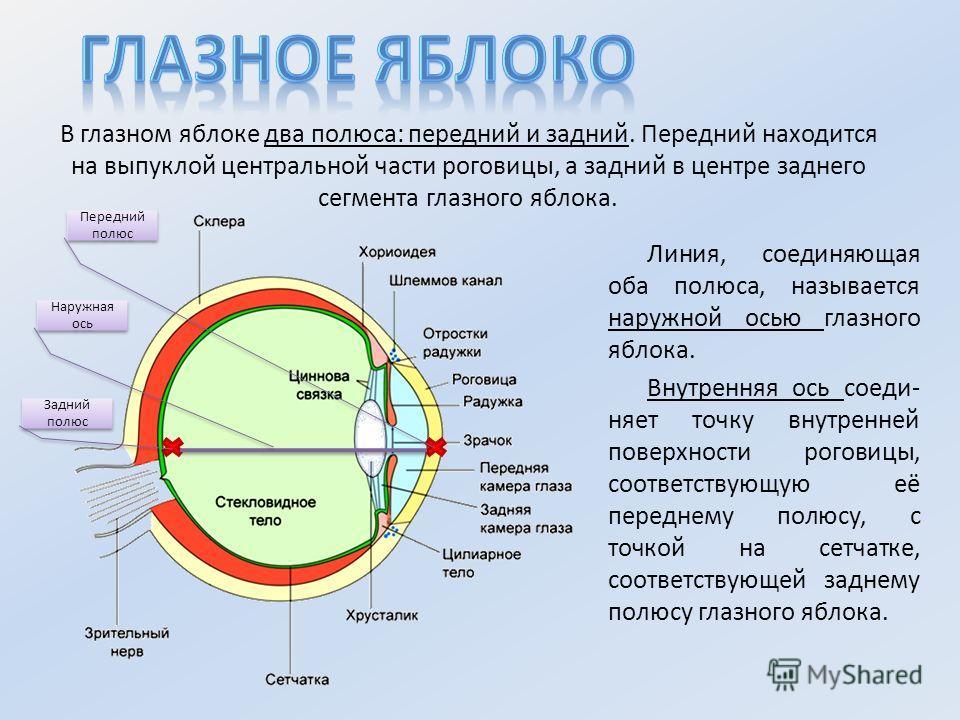 В глазном яблоке два полюса: передний и задний. Передний находится на выпуклой центральной части роговицы, а задний в центре заднего сегмента глазного яблока. Линия, соединяющая оба полюса, называется наружной осью глазного яблока. Внутренняя ось сое