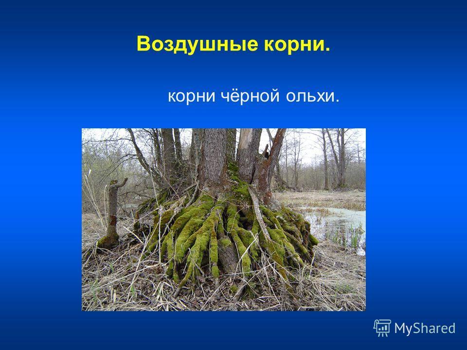 Воздушные корни. корни чёрной ольхи.