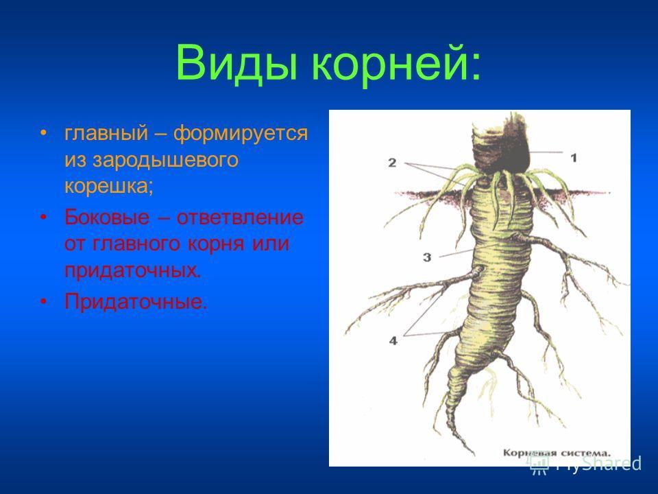 Виды корней: главный – формируется из зародышевого корешка; Боковые – ответвление от главного корня или придаточных. Придаточные.