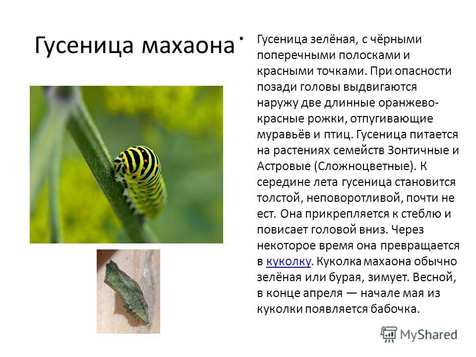 Гусеница махаона Гусеница зелёная, с чёрными поперечными полосками и красными точками. При опасности позади головы выдвигаются наружу две длинные оранжево- красные рожки, отпугивающие муравьёв и птиц. Гусеница питается на растениях семейств Зонтичные