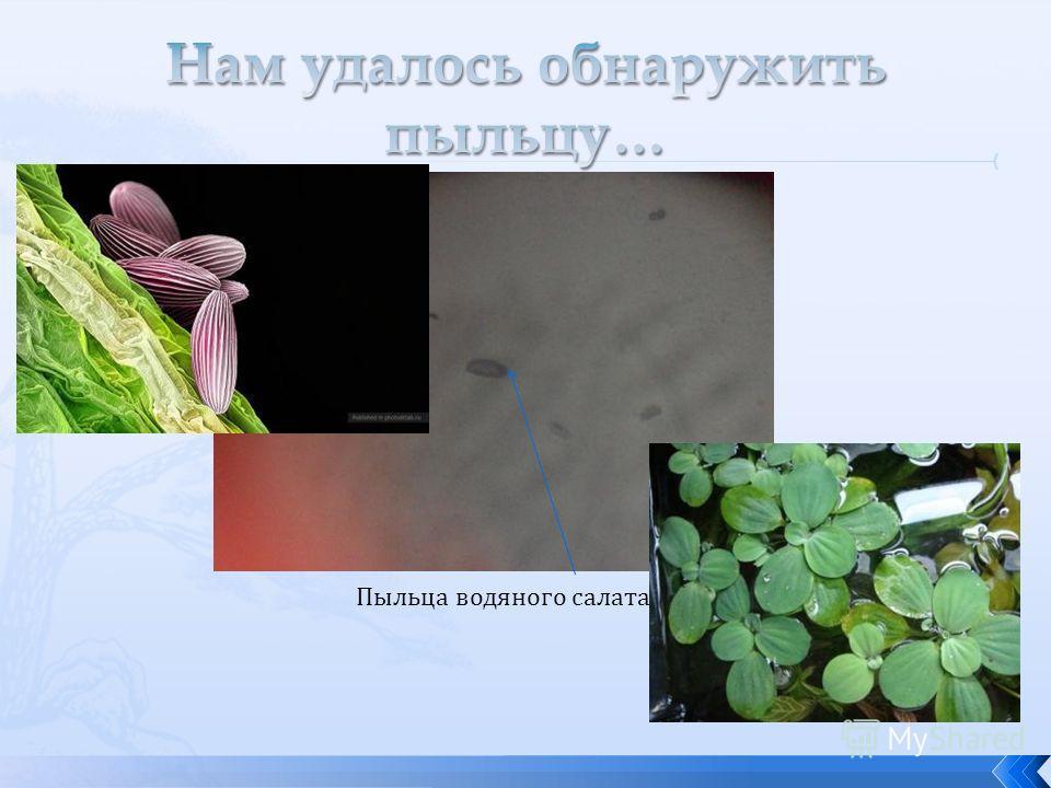 Пыльца водяного салата