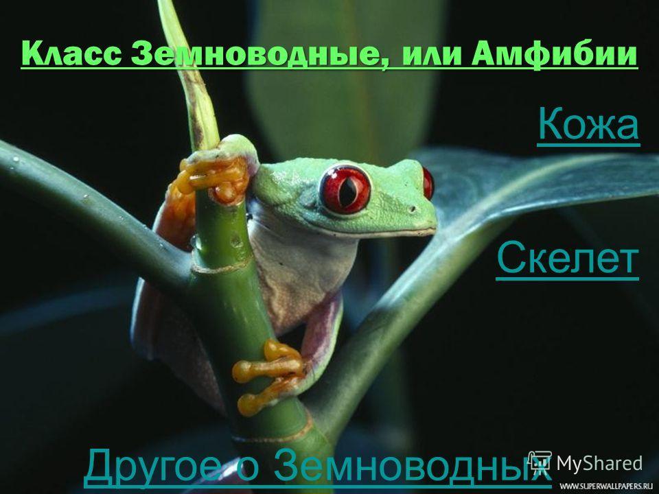 Класс Земноводные, или Амфибии Кожа Скелет Другое о Земноводных