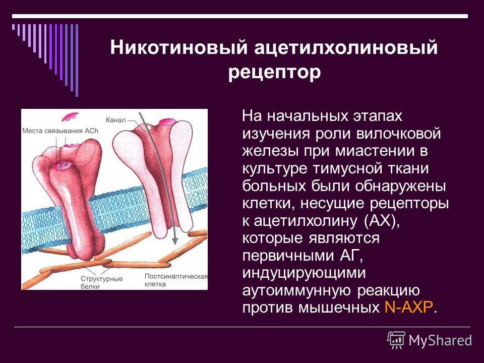 Никотиновый ацетилхолиновый рецептор На начальных этапах изучения роли вилочковой железы при миастении в культуре тимусной ткани больных были обнаружены клетки, несущие рецепторы к ацетилхолину (АХ), которые являются первичными АГ, индуцирующими ауто