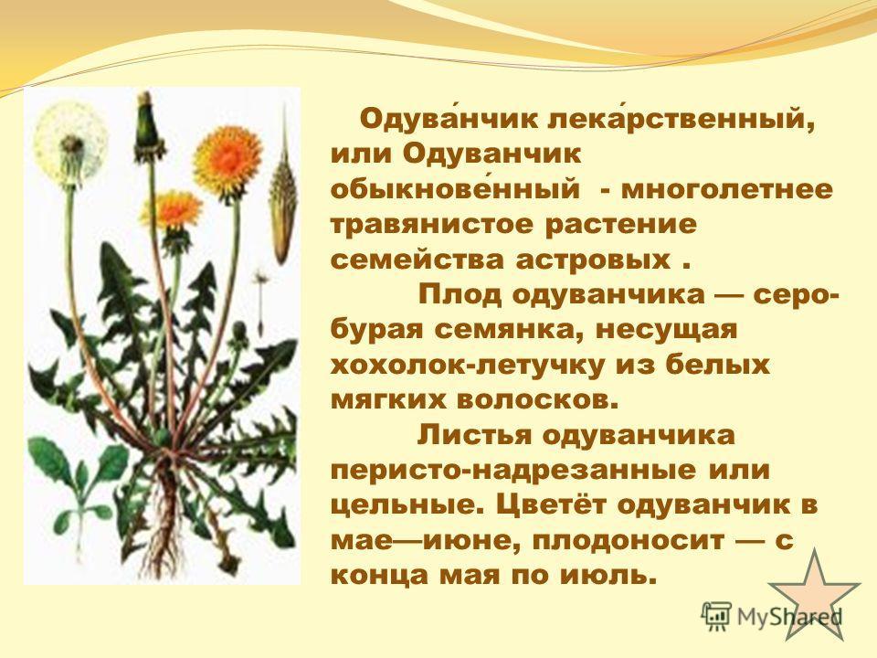 Одуванчик лекарственный, или Одуванчик обыкновенный - многолетнее травянистое растение семейства астровых. Плод одуванчика серо- бурая семянка, несущая хохолок-летучку из белых мягких волосков. Листья одуванчика перисто-надрезанные или цельные. Цветё
