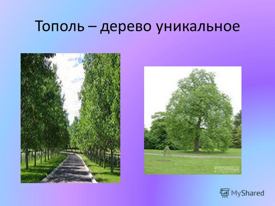 Тополь – дерево уникальное