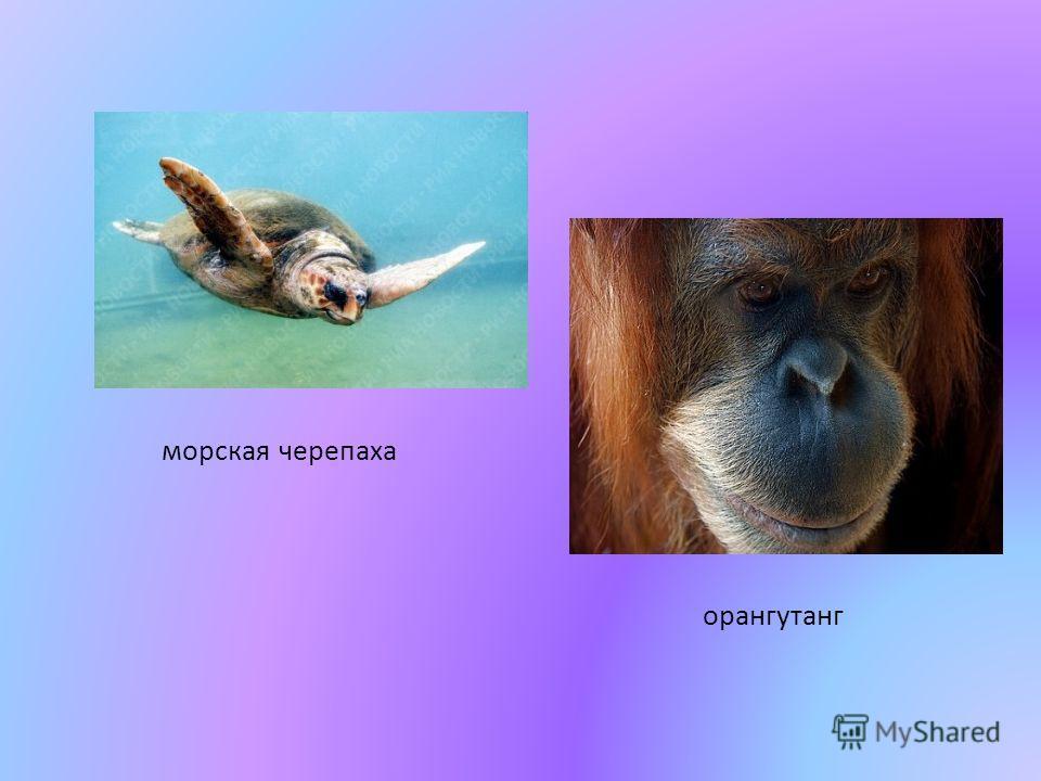 морская черепаха орангутанг
