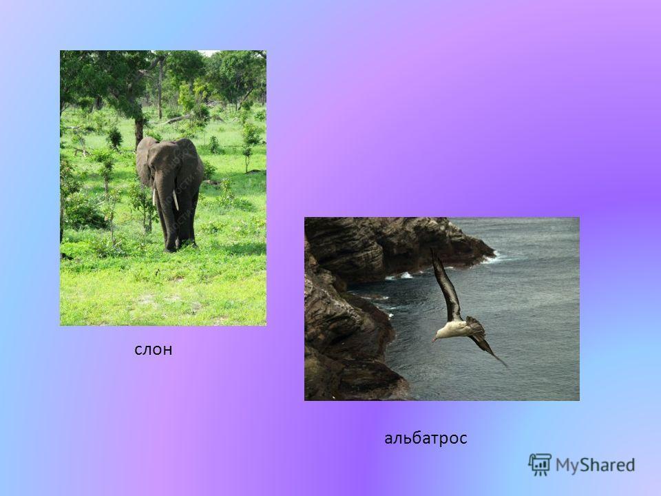 слон альбатрос