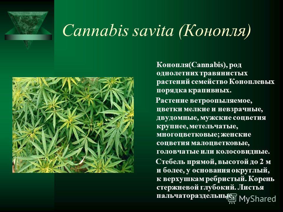 Cannabis savita (Конопля) Конопля(Cannabis), род однолетних травянистых растений семейство Коноплевых порядка крапивных. Растение ветроопыляемое, цветки мелкие и невзрачные, двудомные, мужские соцветия крупнее, метельчатые, многоцветковые; женские со