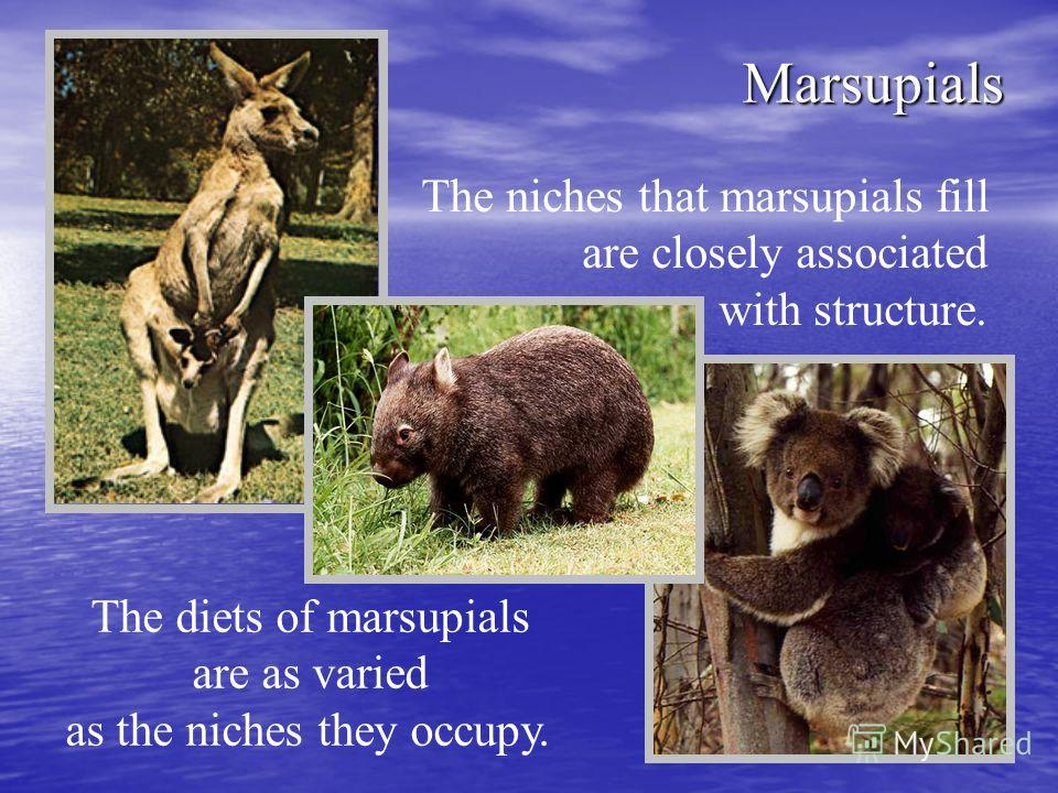 Marsupials The niches that marsupials fill are closely associated with structure. The diets of marsupials are as varied as the niches they occupy.