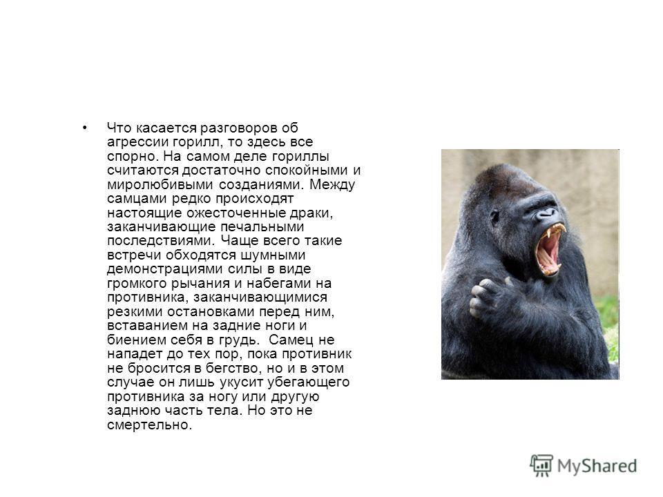 Что касается разговоров об агрессии горилл, то здесь все спорно. На самом деле гориллы считаются достаточно спокойными и миролюбивыми созданиями. Между самцами редко происходят настоящие ожесточенные драки, заканчивающие печальными последствиями. Чащ
