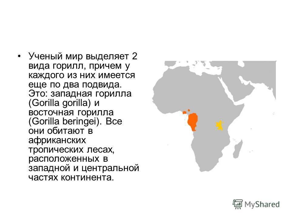 Ученый мир выделяет 2 вида горилл, причем у каждого из них имеется еще по два подвида. Это: западная горилла (Gorilla gorilla) и восточная горилла (Gorilla beringei). Все они обитают в африканских тропических лесах, расположенных в западной и централ