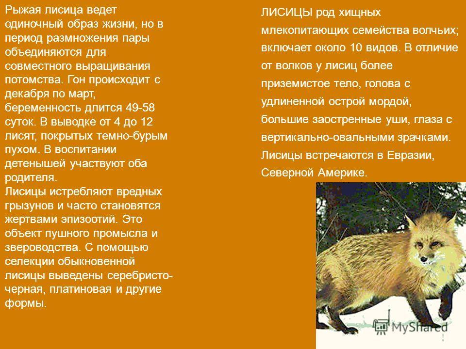 Рыжая лисица ведет одиночный образ жизни, но в период размножения пары объединяются для совместного выращивания потомства. Гон происходит с декабря по март, беременность длится 49-58 суток. В выводке от 4 до 12 лисят, покрытых темно-бурым пухом. В во