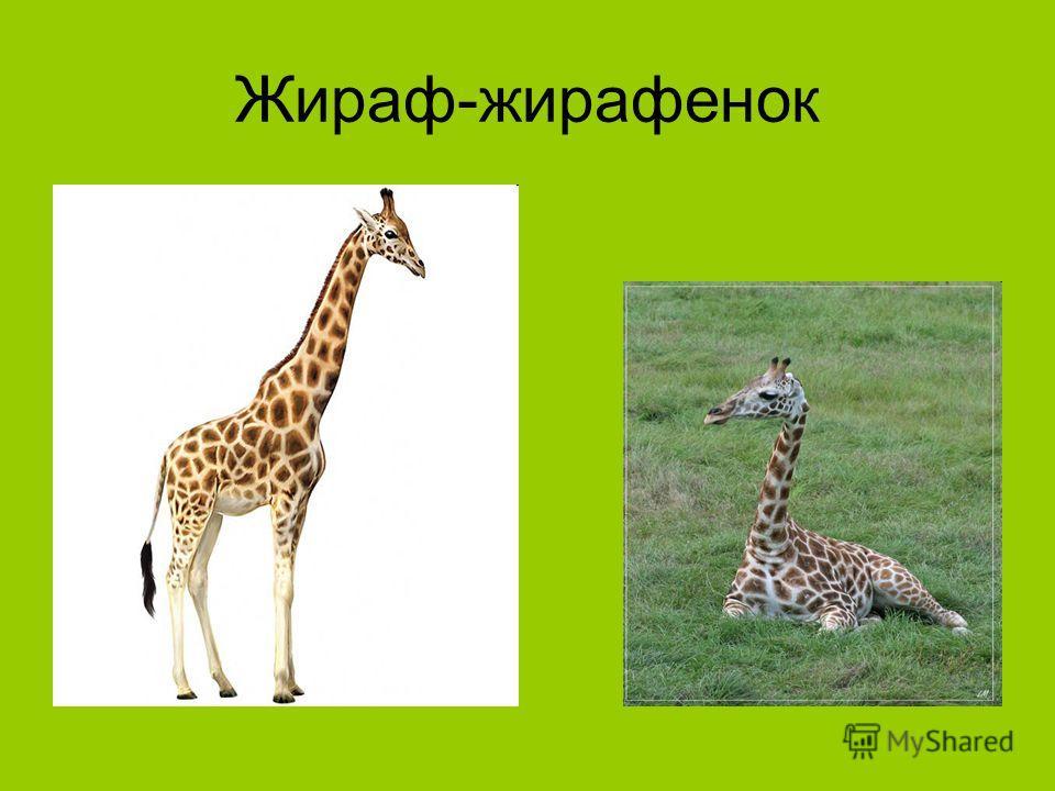 Жираф-жирафенок
