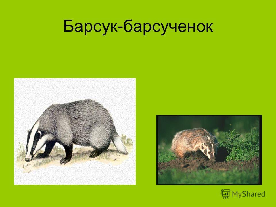 Барсук-барсученок