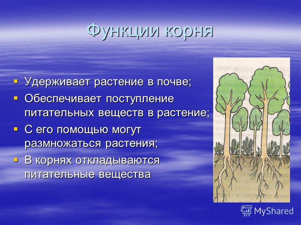 Функции корня Удерживает растение в почве; Удерживает растение в почве; Обеспечивает поступление питательных веществ в растение; Обеспечивает поступление питательных веществ в растение; С его помощью могут размножаться растения; С его помощью могут р
