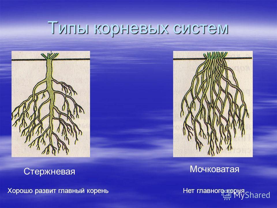 Типы корневых систем Стержневая Хорошо развит главный корень Мочковатая Нет главного корня
