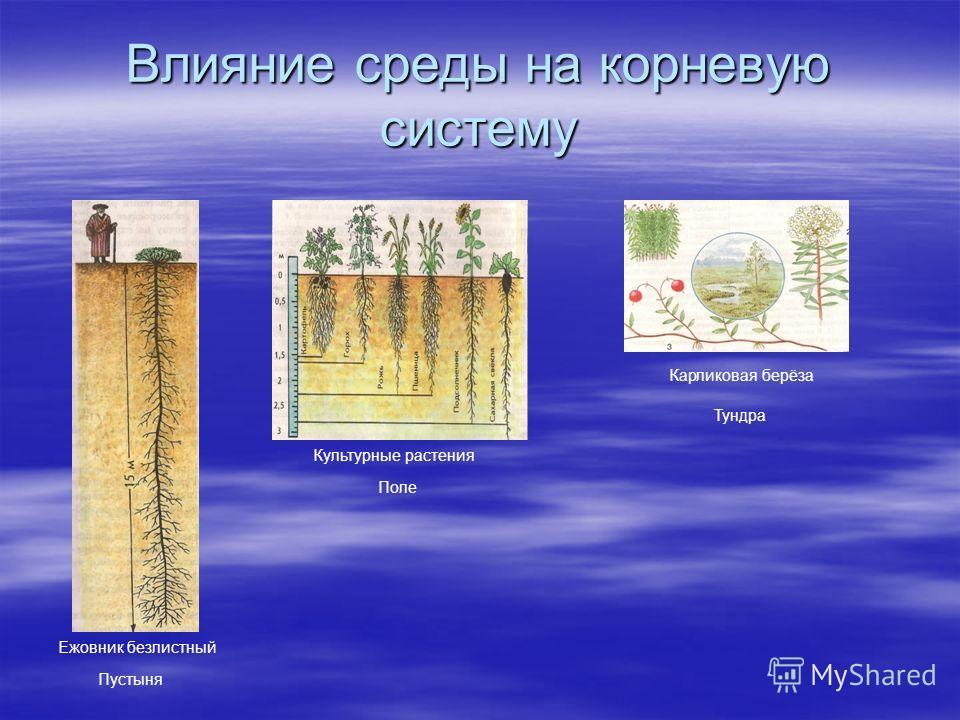 Влияние среды на корневую систему Ежовник безлистный Пустыня Культурные растения Карликовая берёза Тундра Поле