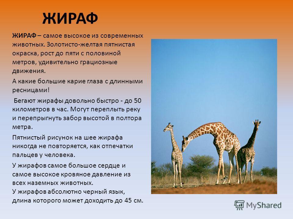 ЖИРАФ ЖИРАФ – самое высокое из современных животных. Золотисто-желтая пятнистая окраска, рост до пяти с половиной метров, удивительно грациозные движения. А какие большие карие глаза с длинными ресницами! Бегают жирафы довольно быстро - до 50 километ