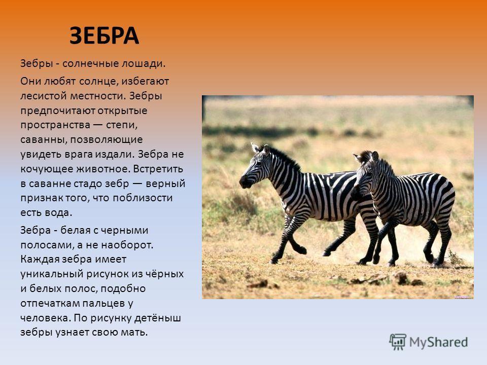 ЗЕБРА Зебры - солнечные лошади. Они любят солнце, избегают лесистой местности. Зебры предпочитают открытые пространства степи, саванны, позволяющие увидеть врага издали. Зебра не кочующее животное. Встретить в саванне стадо зебр верный признак того,