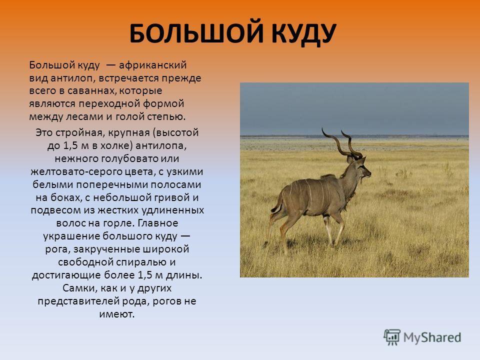 БОЛЬШОЙ КУДУ Большой куду африканский вид антилоп, встречается прежде всего в саваннах, которые являются переходной формой между лесами и голой степью. Это стройная, крупная (высотой до 1,5 м в холке) антилопа, нежного голубовато или желтовато-серого