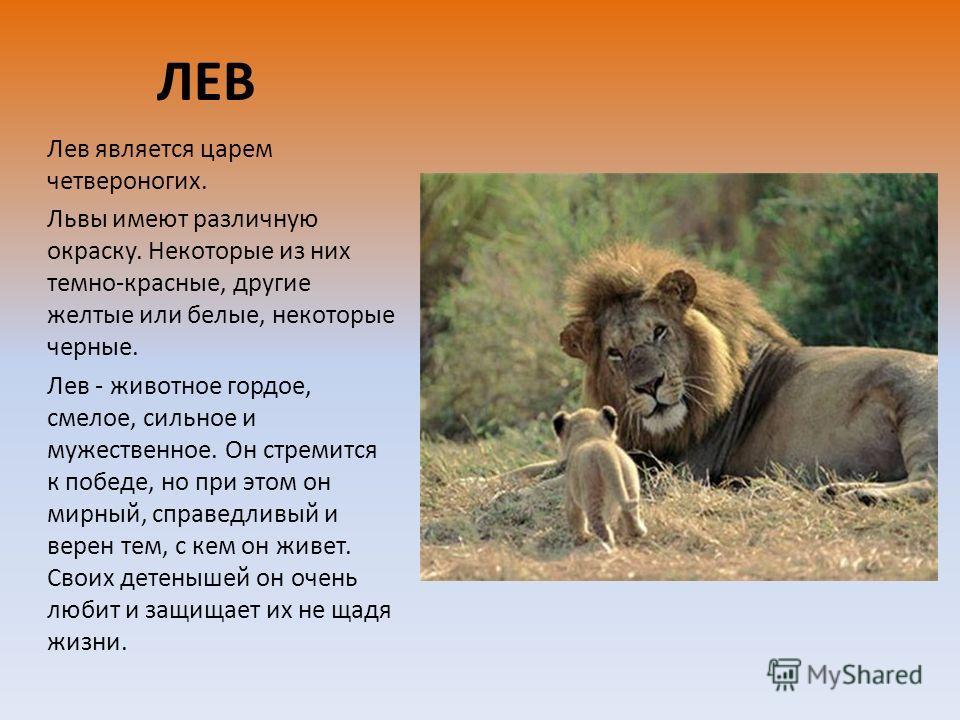 ЛЕВ Лев является царем четвероногих. Львы имеют различную окраску. Некоторые из них темно-красные, другие желтые или белые, некоторые черные. Лев - животное гордое, смелое, сильное и мужественное. Он стремится к победе, но при этом он мирный, справед
