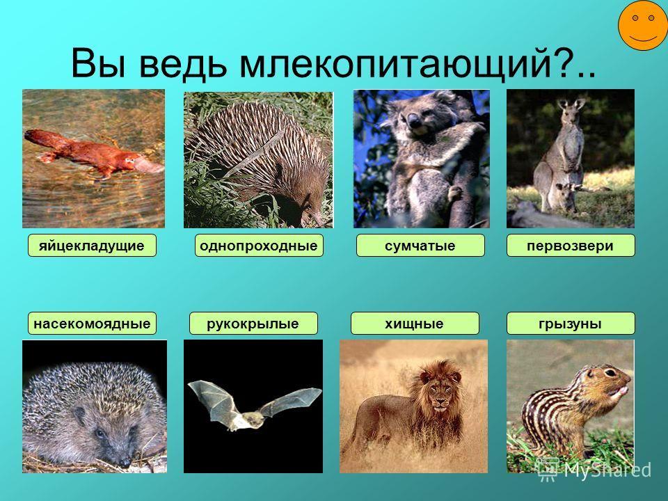 Вы ведь млекопитающий?.. насекомоядные яйцекладущие рукокрылые однопроходные хищные сумчатые грызуны первозвери