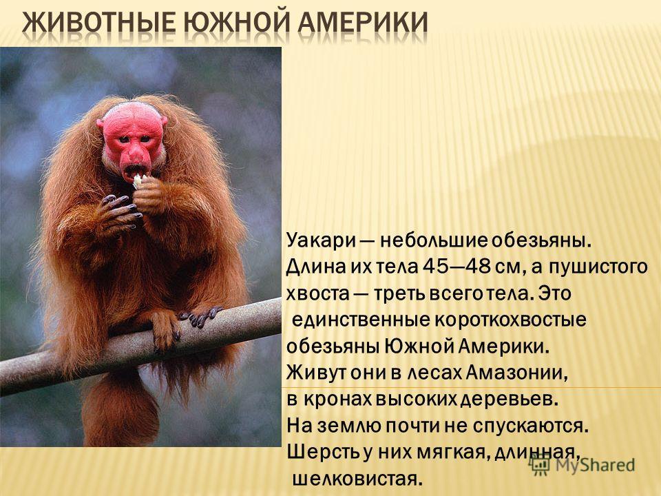 Уакари небольшие обезьяны. Длина их тела 4548 см, а пушистого хвоста треть всего тела. Это единственные короткохвостые обезьяны Южной Америки. Живут они в лесах Амазонии, в кронах высоких деревьев. На землю почти не спускаются. Шерсть у них мягкая, д