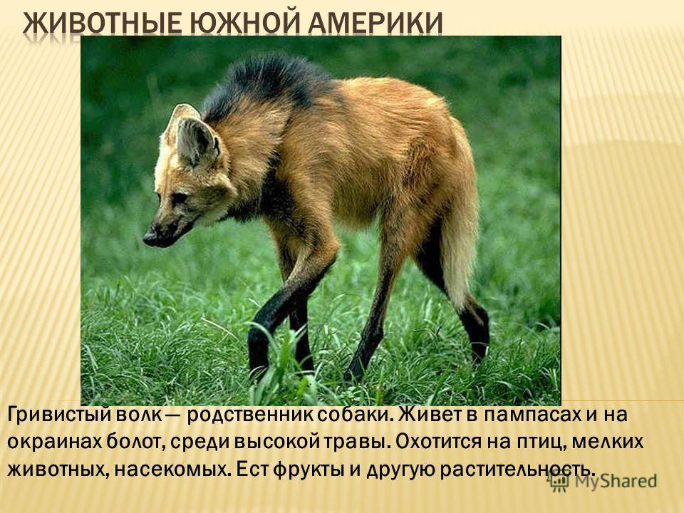 Гривистый волк родственник собаки. Живет в пампасах и на окраинах болот, среди высокой травы. Охотится на птиц, мелких животных, насекомых. Ест фрукты и другую растительность.