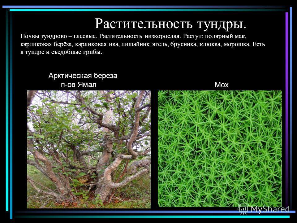 Растительность тундры. Почвы тундрово – глеевые. Растительность низкорослая. Растут: полярный мак, карликовая берёза, карликовая ива, лишайник ягель, брусника, клюква, морошка. Есть в тундре и съедобные грибы. Арктическая береза п-ов Ямал Мох