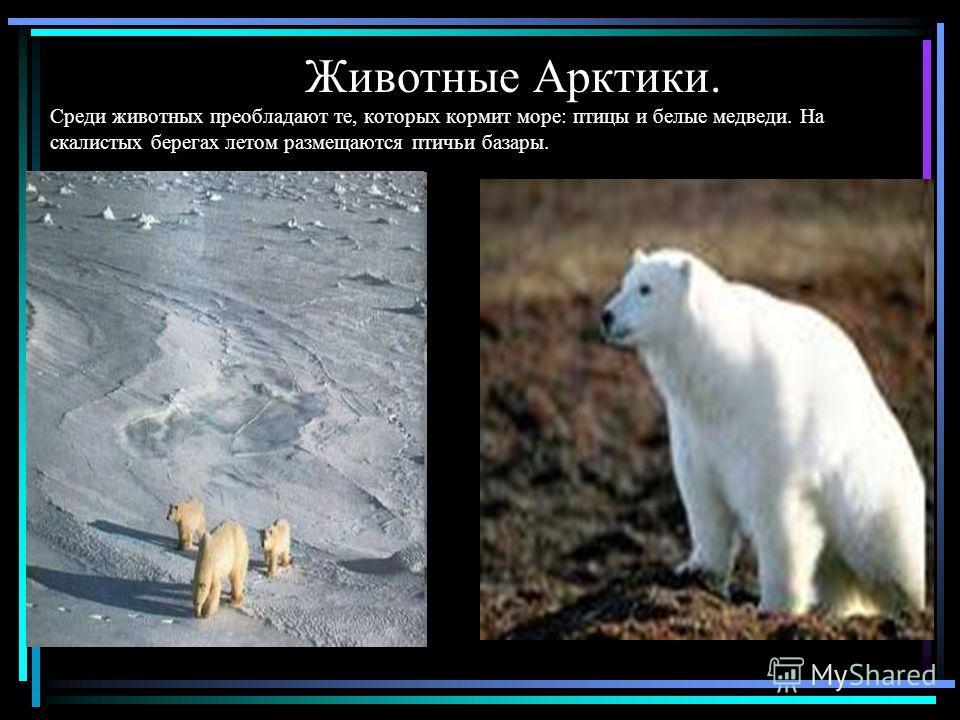 Животные Арктики. Среди животных преобладают те, которых кормит море: птицы и белые медведи. На скалистых берегах летом размещаются птичьи базары.