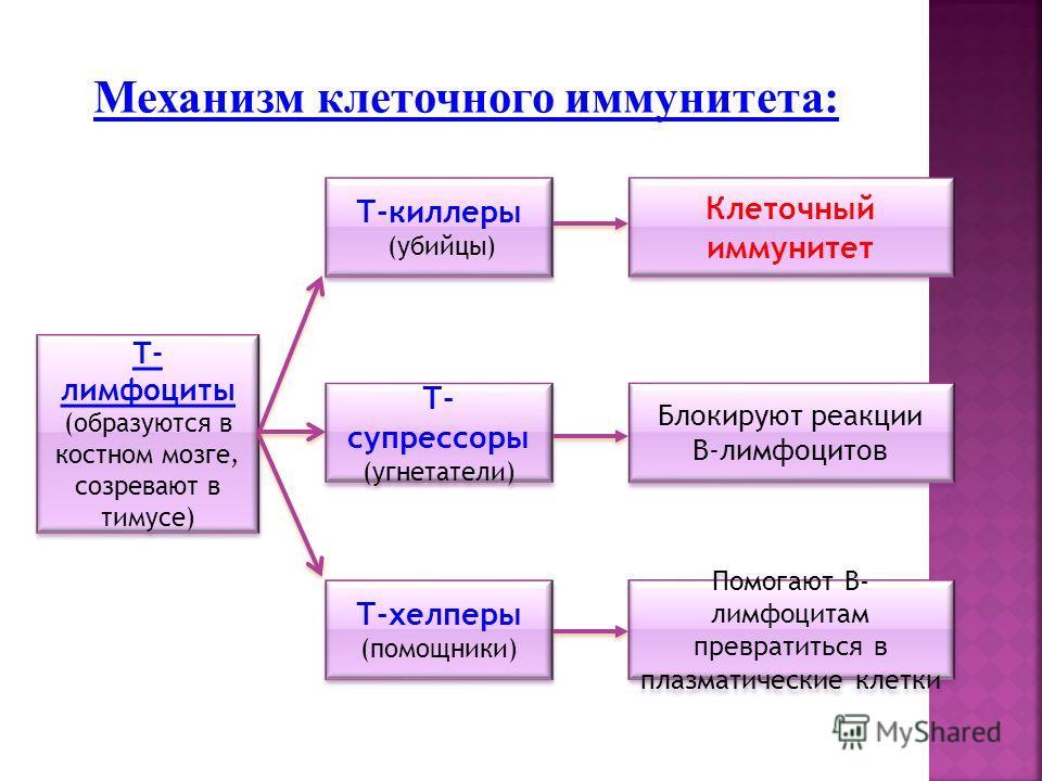 Механизм клеточного иммунитета: Т-киллеры (убийцы) Т-киллеры (убийцы) Т- супрессоры (угнетатели) Т- супрессоры (угнетатели) Т-хелперы (помощники) Т-хелперы (помощники) Клеточный иммунитет Блокируют реакции В-лимфоцитов Блокируют реакции В-лимфоцитов