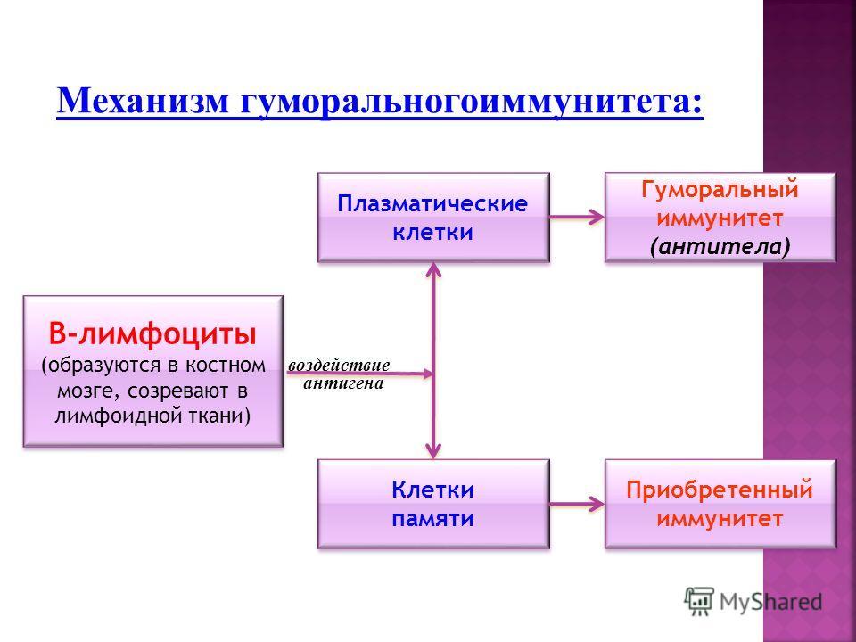 Механизм гуморальногоиммунитета: В-лимфоциты (образуются в костном мозге, созревают в лимфоидной ткани) В-лимфоциты (образуются в костном мозге, созревают в лимфоидной ткани) Клетки памяти Клетки памяти Гуморальный иммунитет (антитела) Гуморальный им