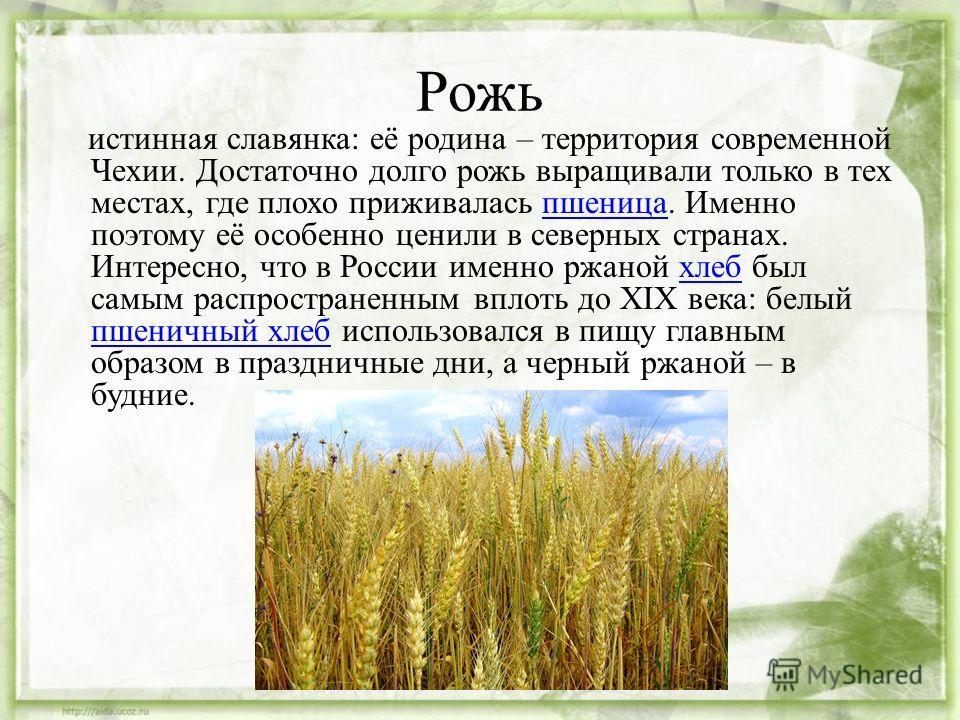 Рожь истинная славянка: её родина – территория современной Чехии. Достаточно долго рожь выращивали только в тех местах, где плохо приживалась пшеница. Именно поэтому её особенно ценили в северных странах. Интересно, что в России именно ржаной хлеб бы