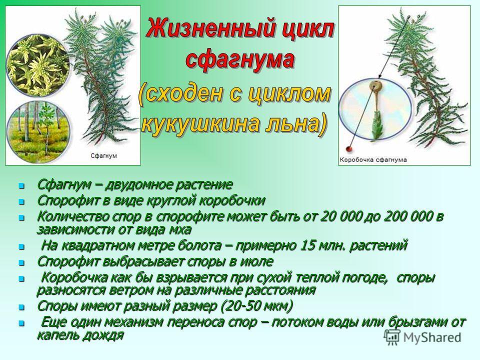 Сфагнум – двудомное растение Сфагнум – двудомное растение Спорофит в виде круглой коробочки Спорофит в виде круглой коробочки Количество спор в спорофите может быть от 20 000 до 200 000 в зависимости от вида мха Количество спор в спорофите может быть