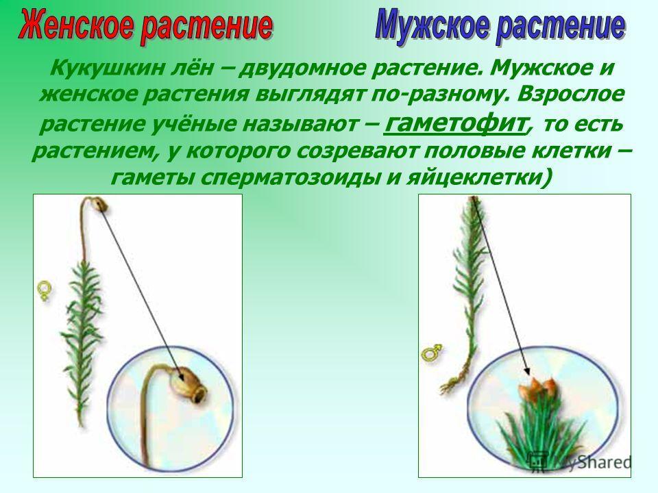 Кукушкин лён – двудомное растение. Мужское и женское растения выглядят по-разному. Взрослое растение учёные называют – гаметофит, то есть растением, у которого созревают половые клетки – гаметы сперматозоиды и яйцеклетки)