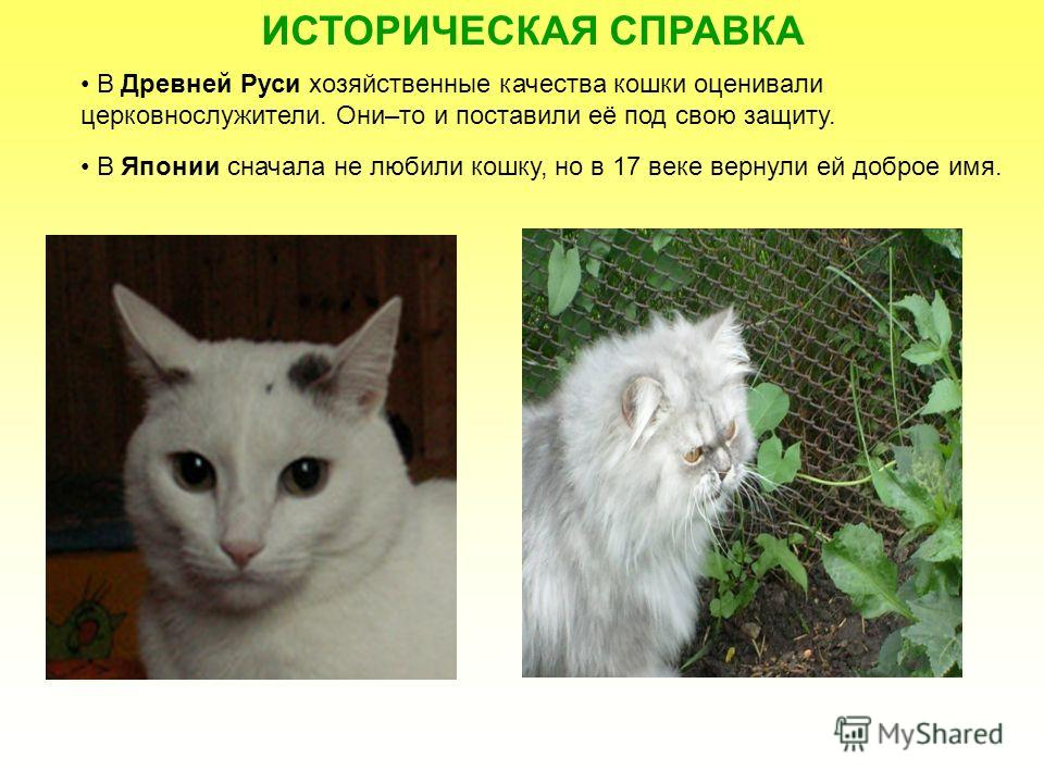 ИСТОРИЧЕСКАЯ СПРАВКА В Древней Руси хозяйственные качества кошки оценивали церковнослужители. Они–то и поставили её под свою защиту. В Японии сначала не любили кошку, но в 17 веке вернули ей доброе имя.