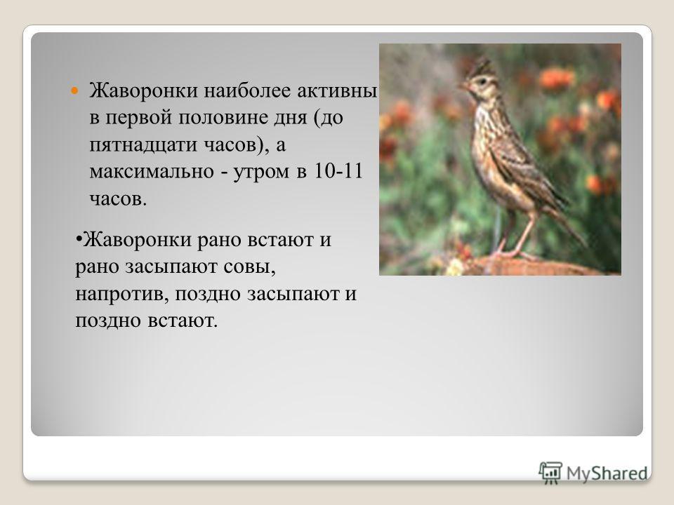 Жаворонки наиболее активны в первой половине дня (до пятнадцати часов), а максимально - утром в 10-11 часов. Жаворонки рано встают и рано засыпают совы, напротив, поздно засыпают и поздно встают.