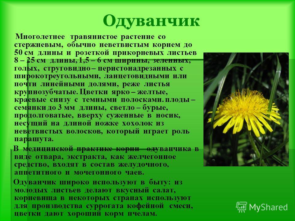Одуванчик Многолетнее травянистое растение со стержневым, обычно неветвистым корнем до 50 см длины и розеткой прикорневых листьев 8 – 25 см длины, 1,5 – 6 см ширины, зеленных, голых, струговидно – перистонадрезанных с широкотреугольными, ланцетовидны