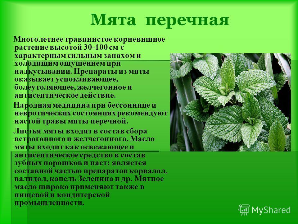 Мята перечная Многолетнее травянистое корневищное растение высотой 30-100 см с характерным сильным запахом и холодящим ощущением при надкусывании. Препараты из мяты оказывает успокаивающее, болеутоляющее, желчегонное и антисептическое действие. Народ