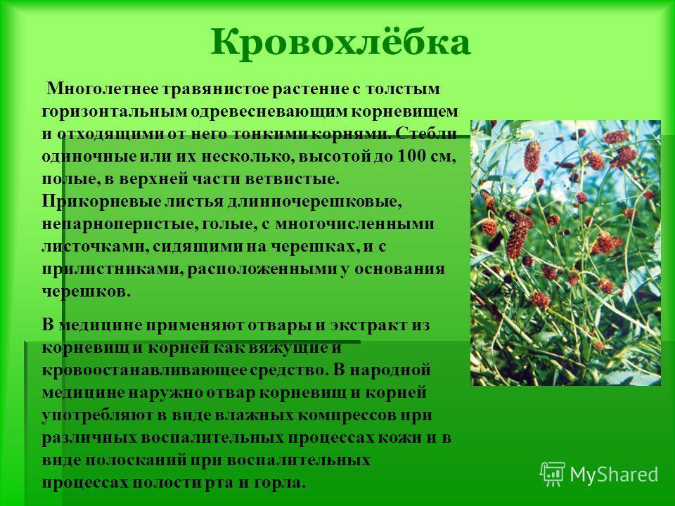 Кровохлёбка Многолетнее травянистое растение с толстым горизонтальным одревесневающим корневищем и отходящими от него тонкими корнями. Стебли одиночные или их несколько, высотой до 100 см, полые, в верхней части ветвистые. Прикорневые листья длинноче