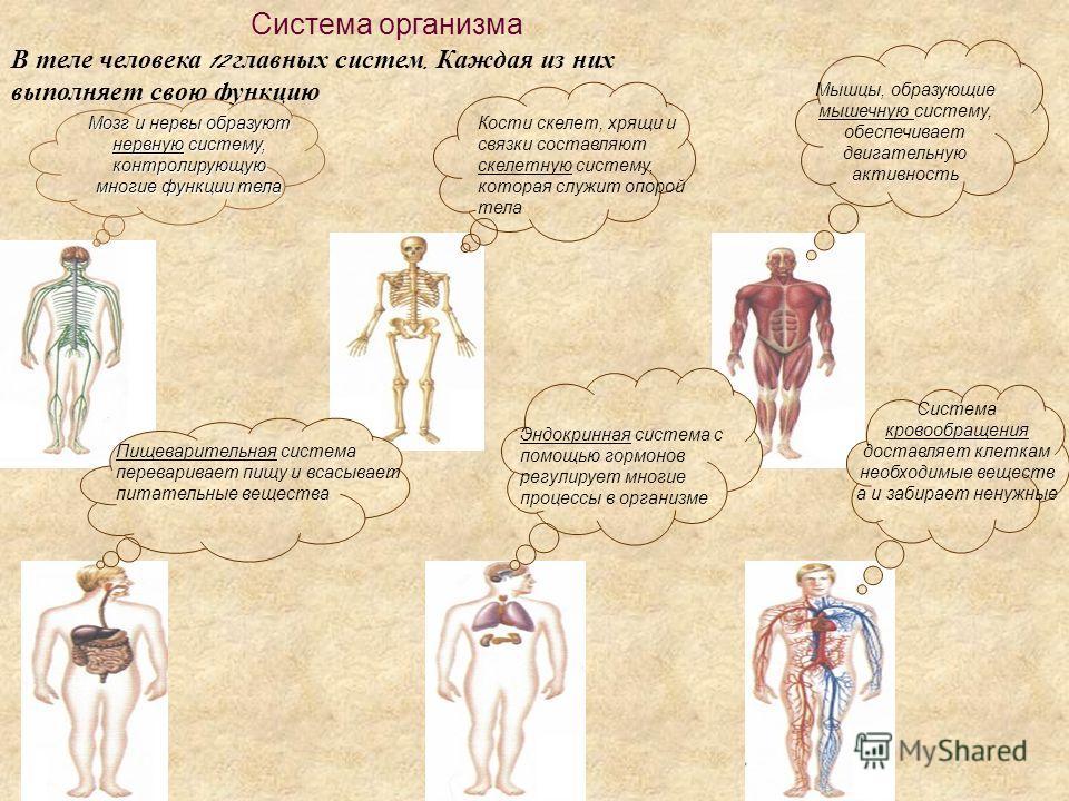 Система организма В теле человека 12 главных систем. Каждая из них выполняет свою функцию Мозг и нервы образуют нервную систему, контролирующую многие функции тела Кости скелет, хрящи и связки составляют скелетную систему, которая служит опорой тела
